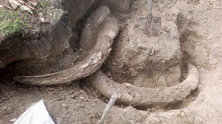 Житель якутского села нашёл в огороде бивни мамонта возрастом 400 тыс. лет